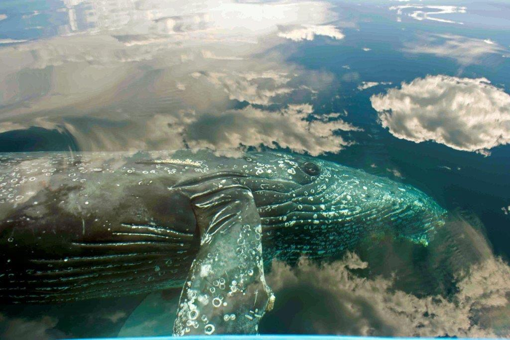 humpback_swimming_through_the_clouds_ed